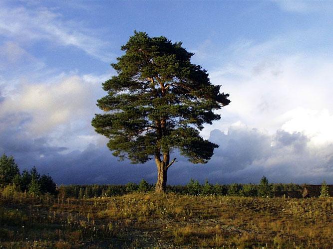 В дереве он составляет душу дерева и
