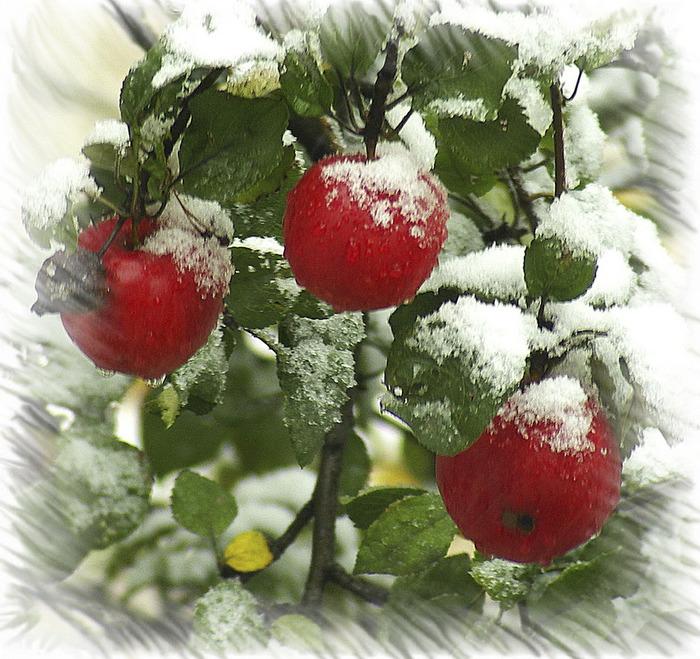 Сообщение яблоки на снегу