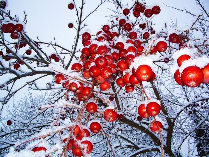 яблони в снегу фото