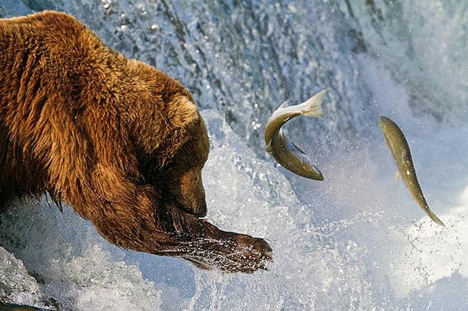 Интересная сборка на тему природа и животные.  Медведи ловят рыбу идущую на нерест и у них это неплохо получается.