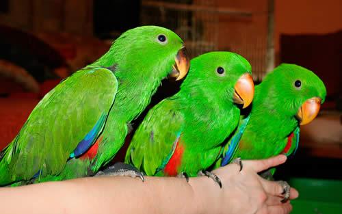 Вновь приобретенного попугая поначалу следует по возможности поместить...