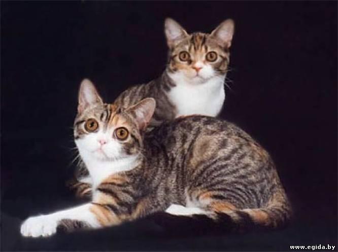 Американский курцхаар (американская короткошерстная кошка).