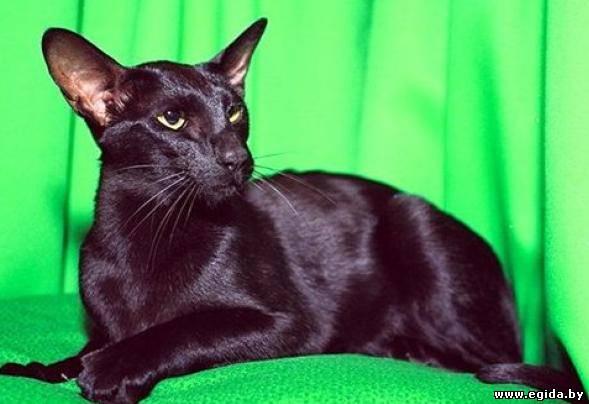 Ориентальная кошка.  Живой мир.  Досуг.