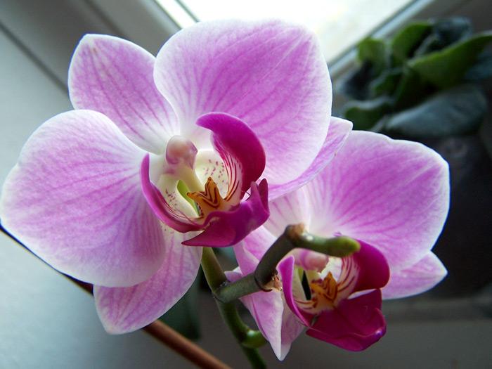 В нашей компании вы можете купить орхидеи оптом и в розницу.