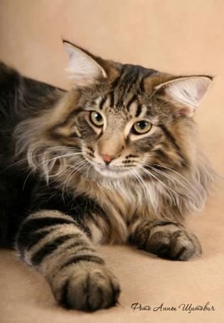Норвежская лесная кошка.  Порода полудлинношёрстных кошек, наиболее...