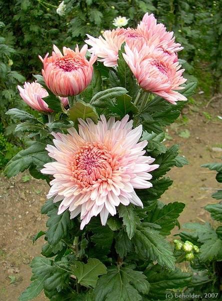 хризантемы - Сайт о бисере.