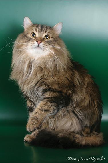 Сибирская кошка.  Стандарт FIFe для сибирских кошек.
