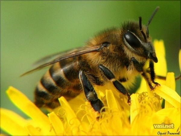 Купить мед, пергу, пыльцу, прополис, ульи и другие продукты пчеловодов Беларуси вы можете на сайте Paseka.BY.