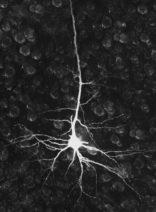 neuron (514x700, 121Kb)