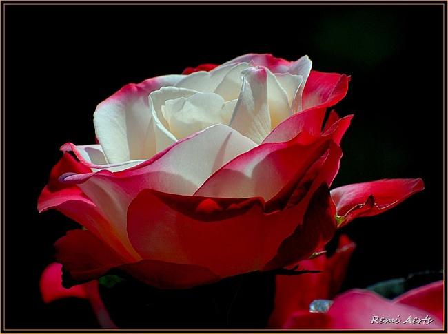 плейкаст божественно-красивая царственная роза Marmot имеет следующие