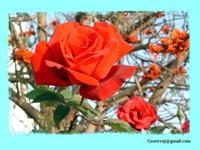 Розы (часть 3)