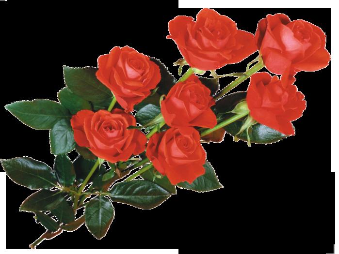 розы красные (699x525, 368Kb)