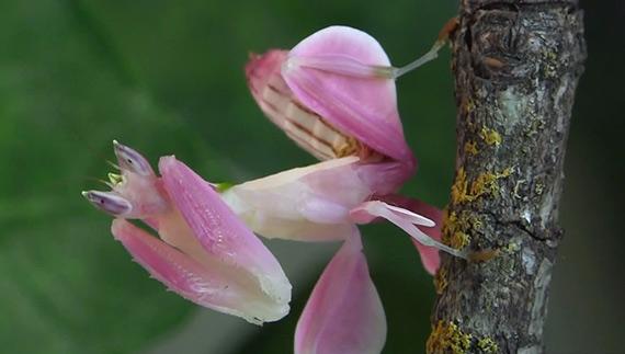 орхидейный богомол фото 7 (570x323, 127Kb)