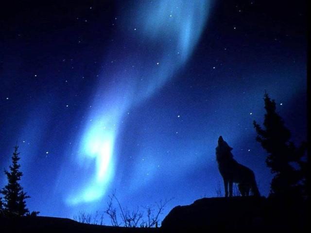 волк (640x480, 50Kb)