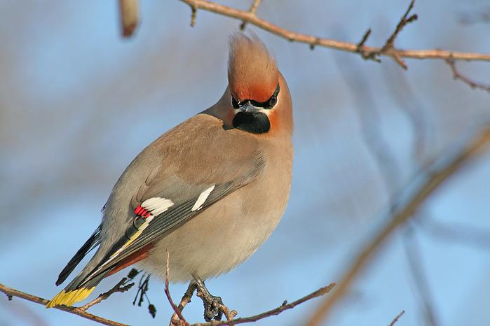 У какой птицы есть на голорве хохолок! MOREBIRDS.RU