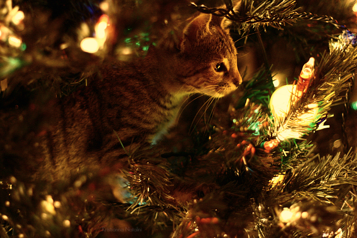 3303834_christmas_cat_1 (700x466, 408Kb)