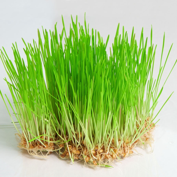 pic_wheatgrass (700x700, 319Kb)