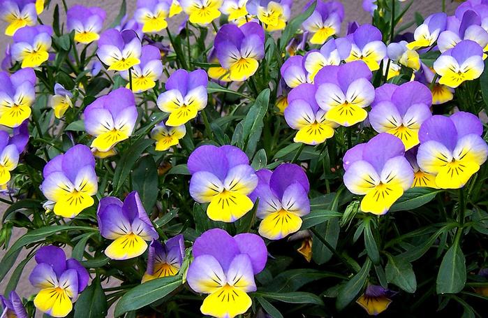 Viola tricolor_4 (700x455, 248Kb)