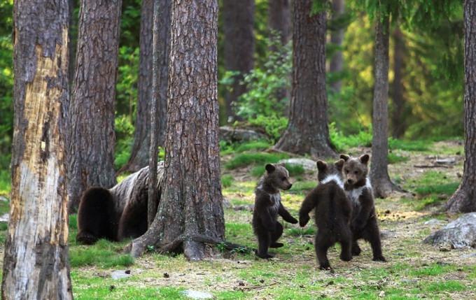 медвежата фото (680x429, 242Kb)