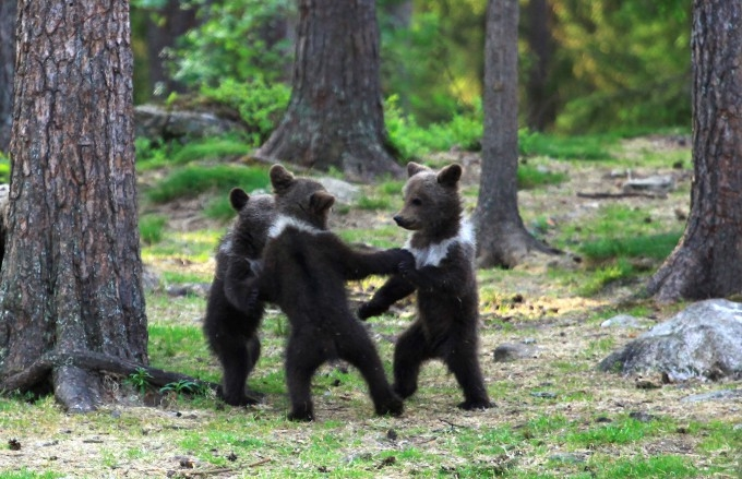 медвежата фото 2 (680x439, 231Kb)