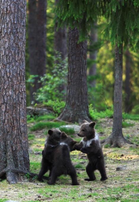 медвежата фото 4 (470x680, 229Kb)