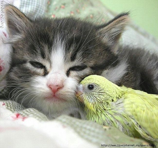 Дружба между животными 1 (650x609, 210Kb)