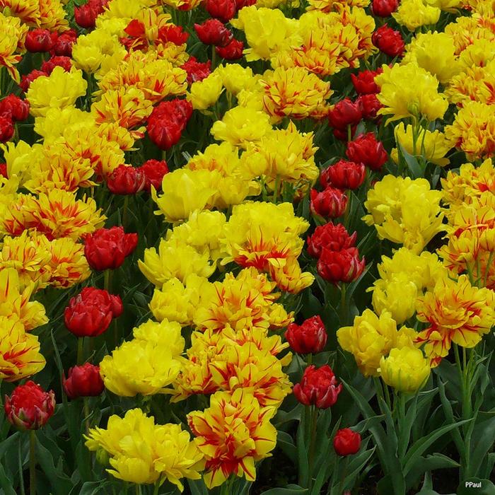 тюльпаны фото  (700x700, 767Kb)