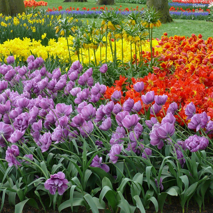 тюльпаны фото 2 (700x700, 766Kb)