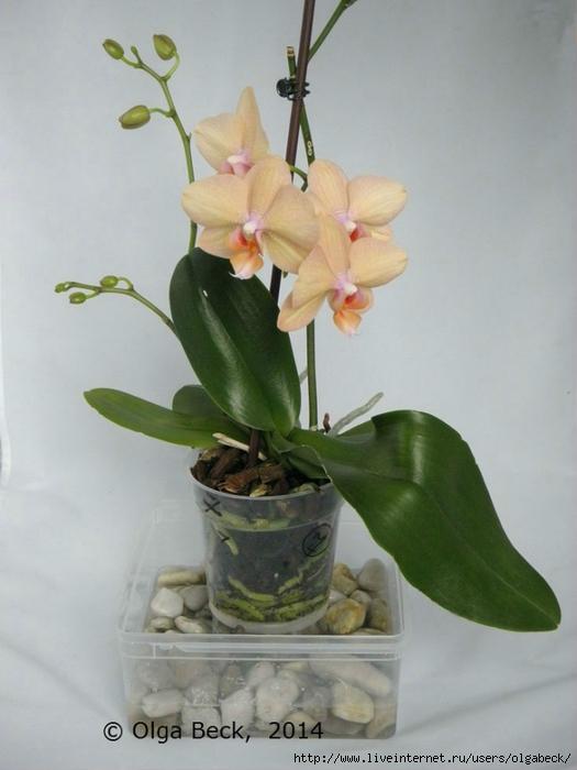 почему у орхидеи вянут верхние листья