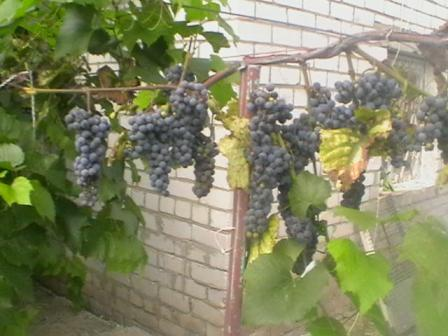<обрезка винограда - Самое
