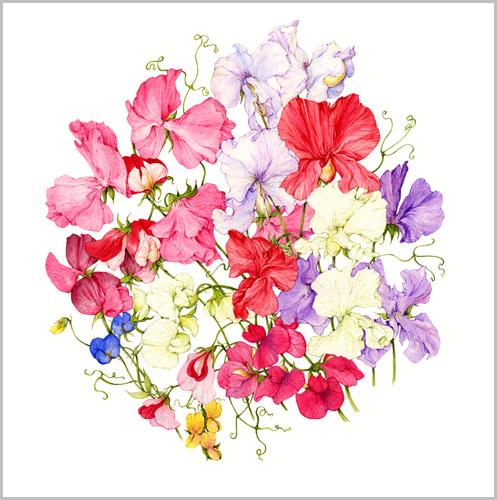 1306344729_www.nevsepic.com.ua_005-new_web_gall_sweet_pea_varieties (497x500, 231Kb)