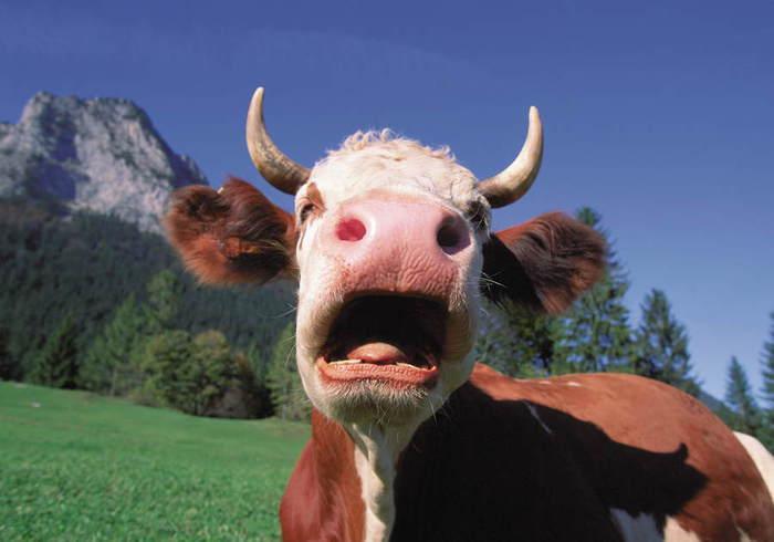 наш канал почему коровы истошно мычать на закате часто Путивльскую икону