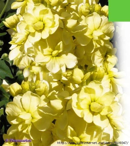 Левкой желтый10 (450x507, 140Kb)