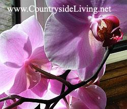 4276238_Phalaenopsis_flower (250x215, 21Kb)