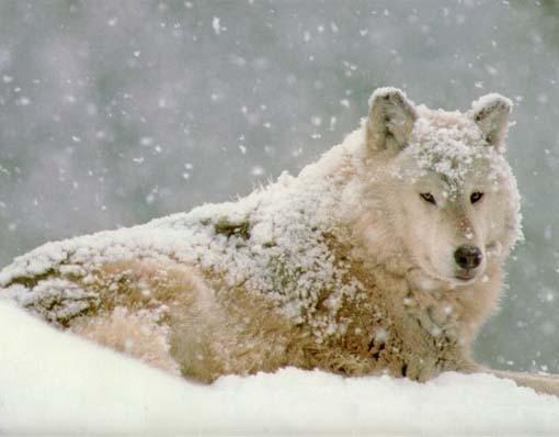 волк снег (510x398, 77Kb)