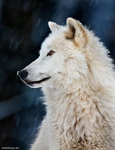 зверушки-полярные волки3 (458x600, 223Kb)