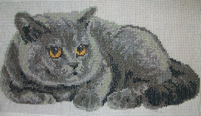 вышивка кот британец6 (700x403