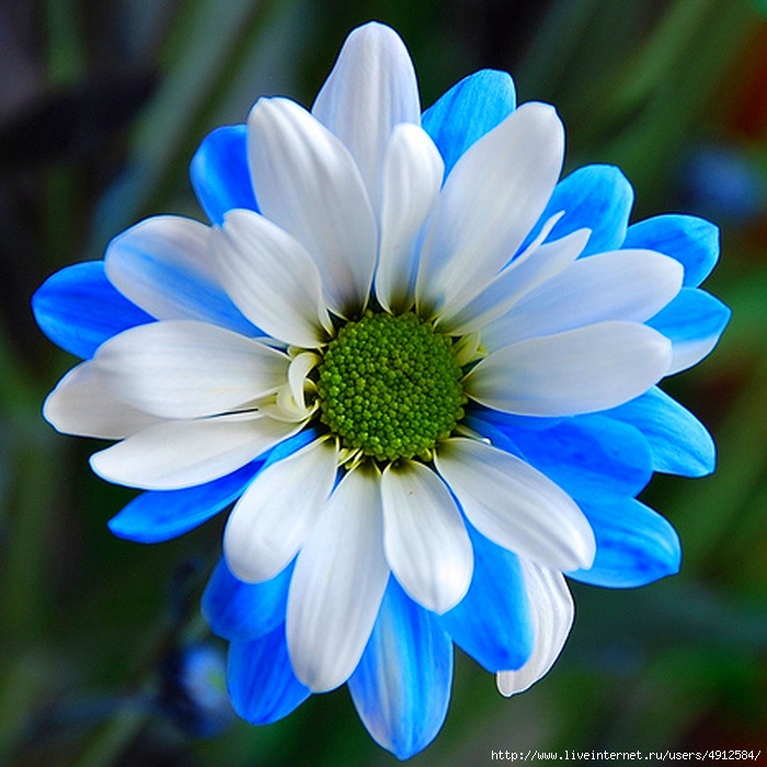 3Chrysanthemum6 (700x700, 327Kb)