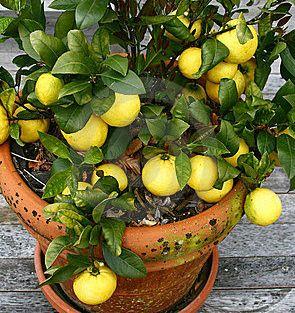 3862295_lemonsinapotthumb5267417 (295x313, 39Kb)