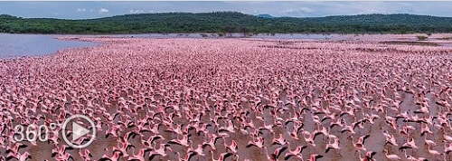 АФРИКА2 Фламинго, Кения, озеро Богория (500x178, 63Kb)