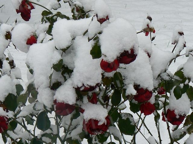 Цветы под снегом1а (640x479, 242Kb)
