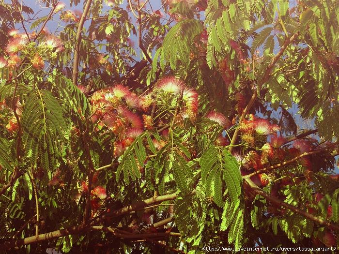 mimosa_by_izaballaantern-d6u0jrt (700x525, 496Kb)