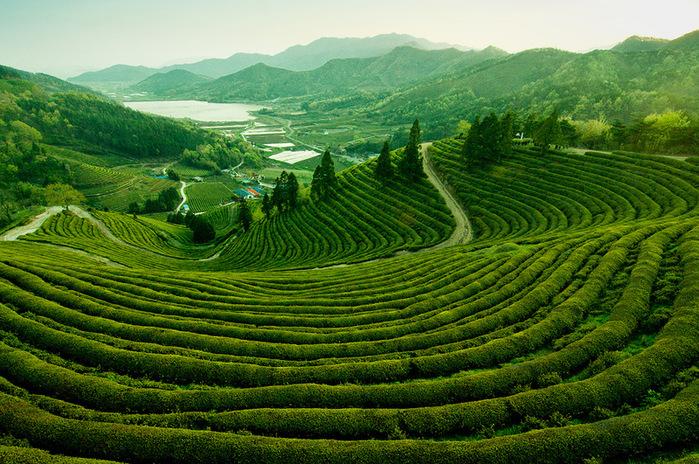 чайные плантации (700x464, 252Kb)