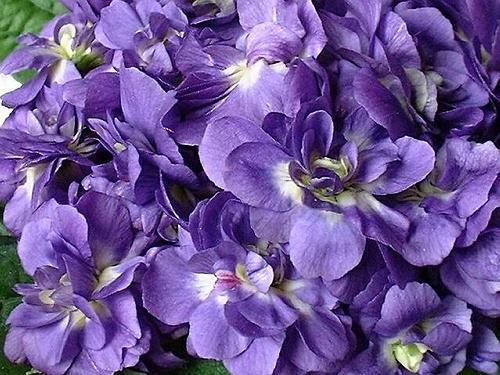 violettes festival à Toulouse 2014-1 (500x375, 198Kb)