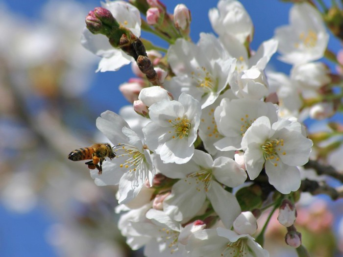 springtime-blossoms-wallpapers_5225_1600x1200 (700x525, 68Kb)