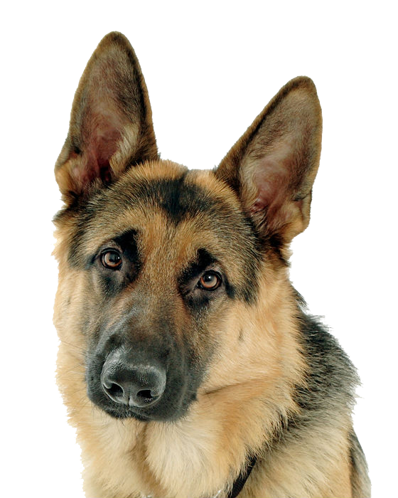 109742419_large_Buck_The_GSD (560x700, 468Kb)