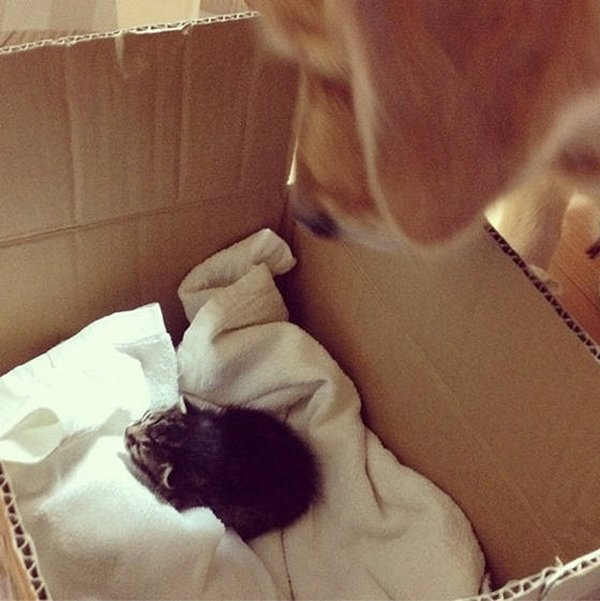 1390940237_retriver-and-kitten-01 (600x601, 154Kb)