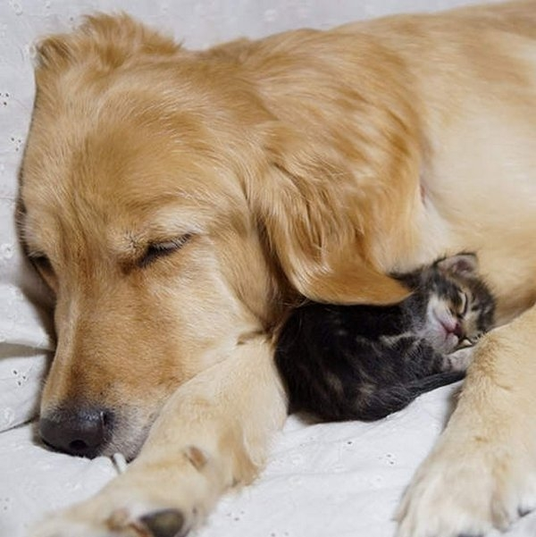 1390940298_retriver-and-kitten-03 (600x601, 158Kb)