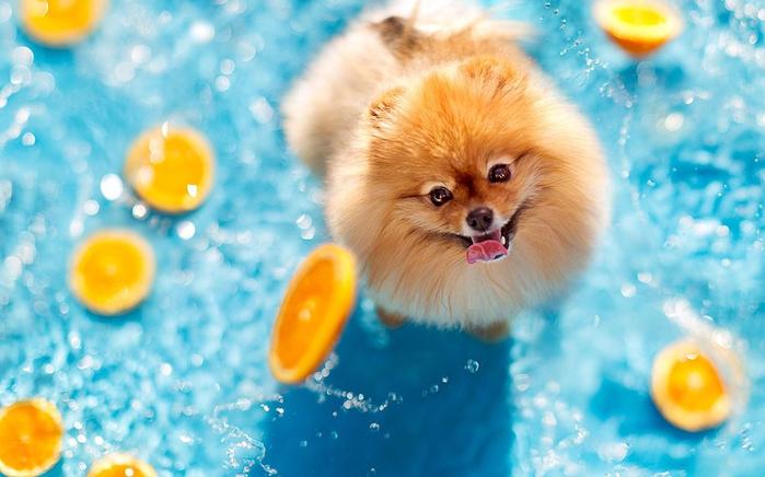 Интересные мордашки Флинта Поморского (Flint the Pomeranian)