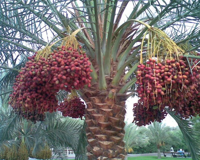пальма 1 (700x560, 539Kb)